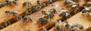 Bienen www.honig-bio.at